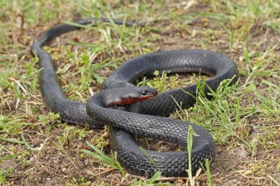 Black whip snake (Dolichophis jugularis), Kos