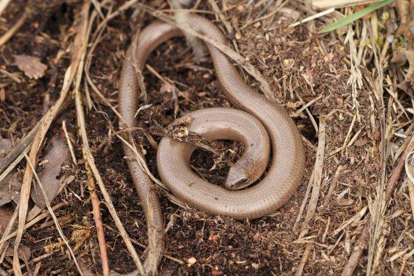 Slow worm (Anguis fragilis) (C) Matt Wilson