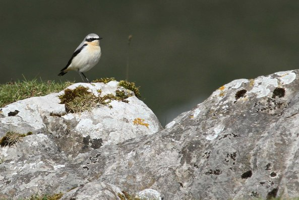 Male wheatear (C) Matt Wilson