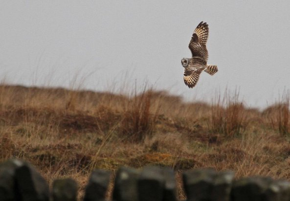 Short-eared owl (Asio flammeus) (C) Matt Wilson