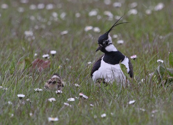 Mummy lapwing and baby (C) Matt Wilson
