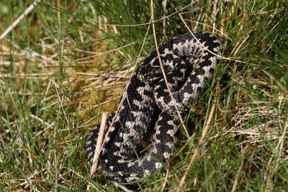 Lonely male adder (Vipera berus) (C) Matt Wilson