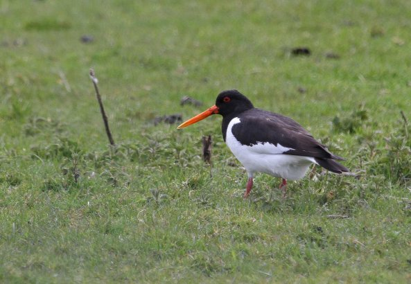 Oyster catcher (C) Matt Wilson