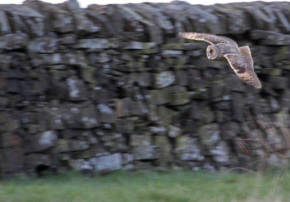 Long-eared owl (C) Matt Wilson