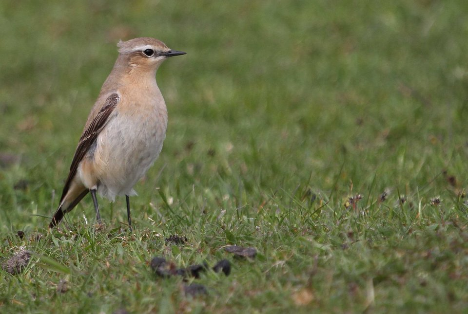 Female wheatear (C) Matt Wilson