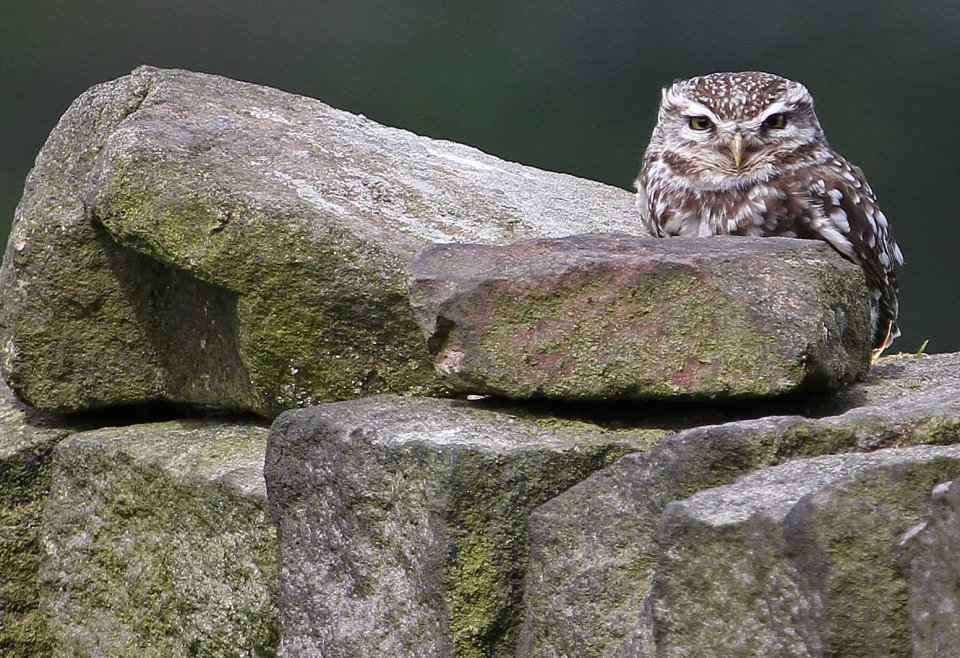 Little owl (C) Matt Wilson