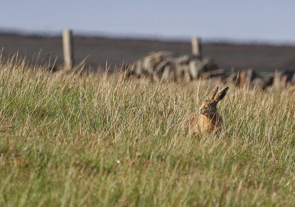 Brown hare (C) Matt Wilson