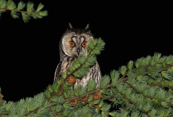 Long-eared owl (C) Matt Wilson