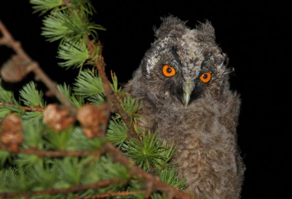 Long-eared owl chick (C) Matt Wilson