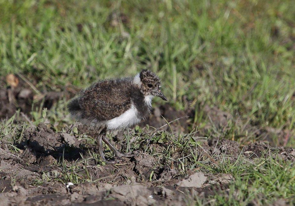 Lapwing chick (c) Matt Wilson