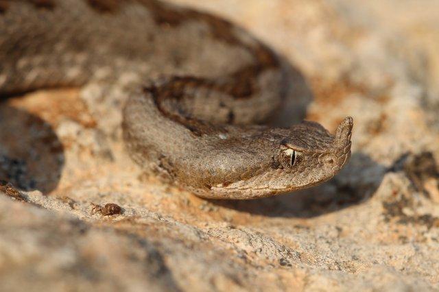 Nose-horned viper (Vipera ammodytes) from the small Cyclades (C) Matt Wilson