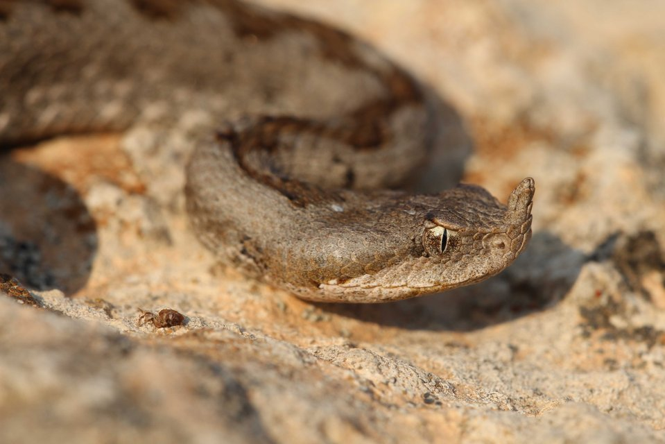 Nose-horned viper (Vipera ammodytes) from the small Cyclades (C) Matt Wilson