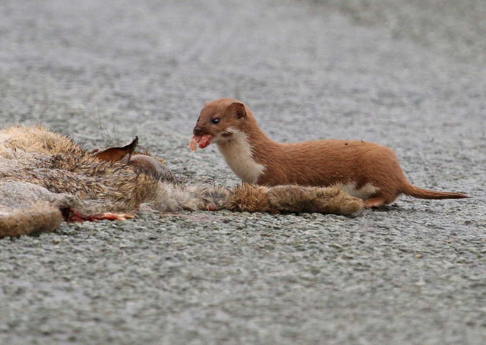 Cheeky weasel feeding on a dead rabbit (C) Matt Wilson