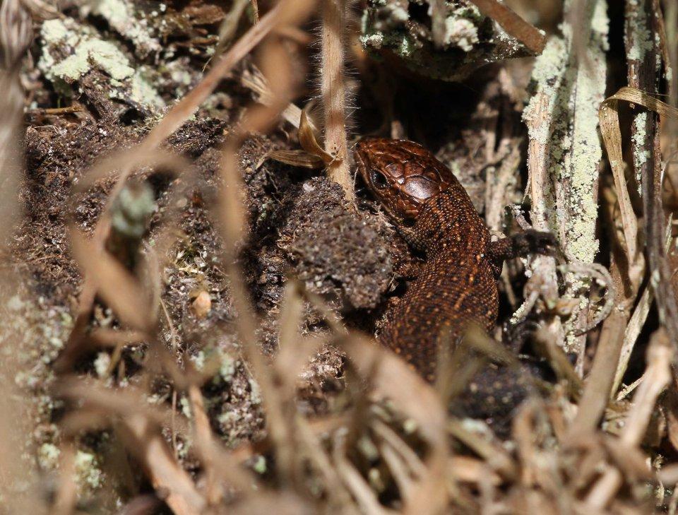 Common lizard (Zootoca vivipara) (C) Matt Wilson