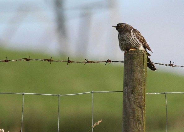 Juvenile cuckoo (C) Matt Wilson