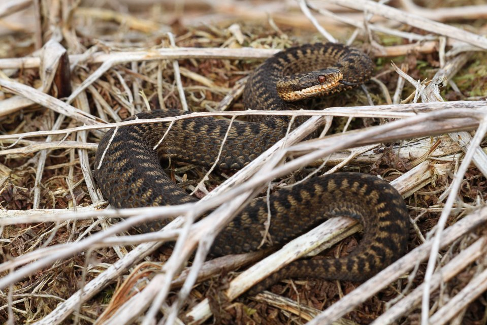 Female adder (Vipera berus) (C) Matt Wilson