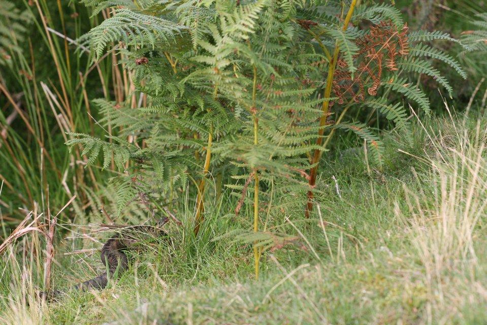 Female adder (Vipera berus) (C) Matt Wilson