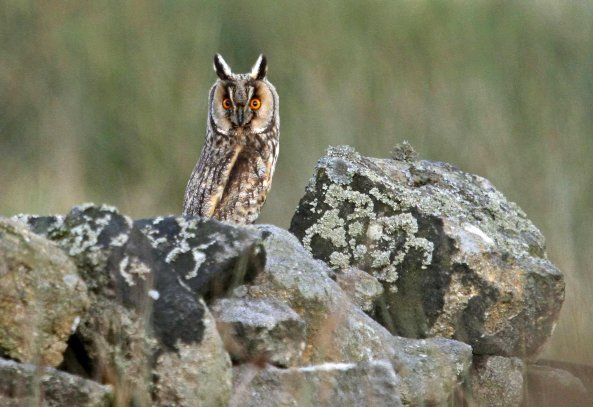 Long-eared owl (Asio otus) (C) Matt Wilson