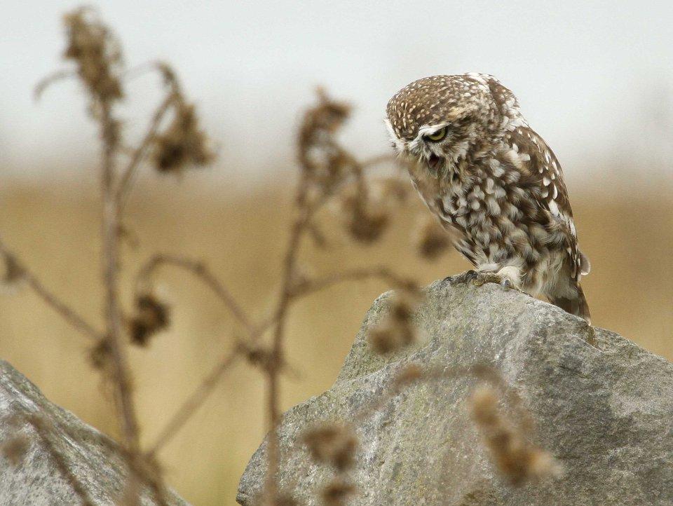 Little owl (Athene noctua) (C) Matt Wilson