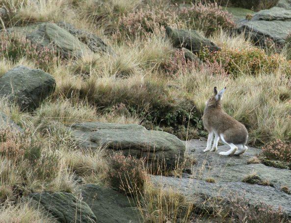 Mountain Hare (C) Matt Wilson