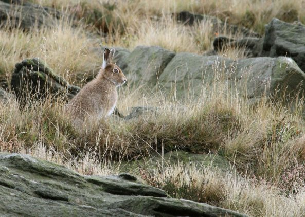 Mountain hare (C) Matt Wilson