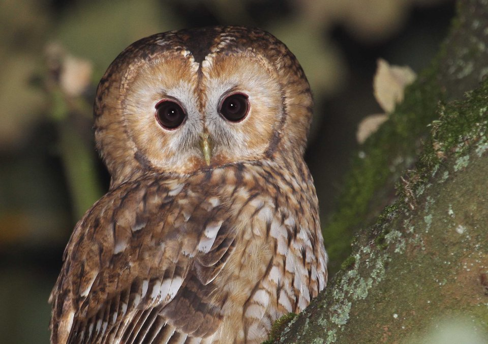 Tawny owl (Strix aluco) (C) Matt Wilson