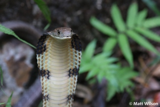 King cobra (Ophiophagus hannah), Krabi, Thailand