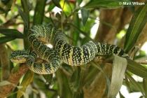 Wagler's pit viper (Tropidolaemus wagleri) large female
