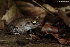 Smith's litter frog (Leptobrachium smithi)