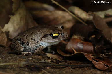 Smith's litter frog (Leptobrachium smithi)