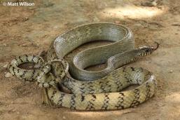 Oriental ratsnake (Ptyas mucosa)