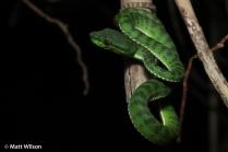 Juvenile Phuket pit viper (Trimeresurus phuketensis)