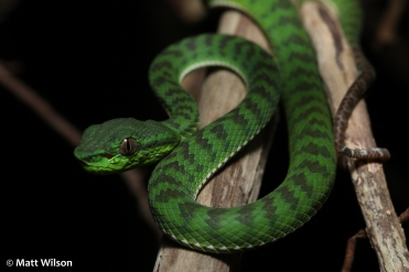 Baby Phuket pit viper (Trimeresurus phuketensis)