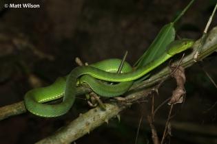 Female Phuket pit viper (Trimeresurus phuketensis)