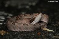 Malayan pit viper (Calloselasma rhodostoma)