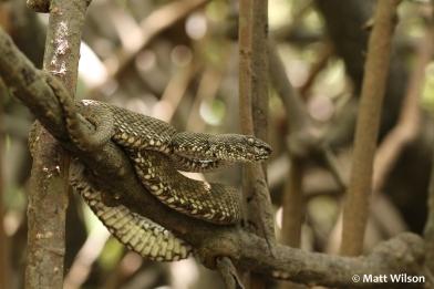 Mangrove pit viper (Trimeresurus purpureomaculatus) number 1