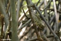 Mangrove pit viper (Trimeresurus purpureomaculatus) number 2
