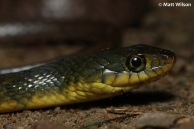 Triangle keelback (Xenochrophis trianguligerus), got wet boots and trousers to get this one..