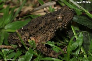 River toad (Phrynoidis aspera)