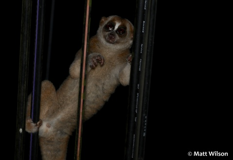 Slow loris on telegraph wires next to the road