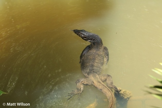 Asian water monitor (Varanus salvator)