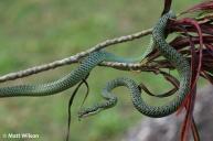 Ornate flying snake (Chrysopelea ornata)