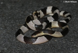 Large Malayan banded krait (Bungarus candidus) found on a road at night