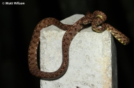 Jasper's cat snake (Boiga jaspidea) as found in situ