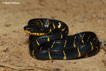 Juvenile Mangrove cat snake (Boiga dendrophila)