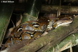 Reticulated python (Python reticulatus)
