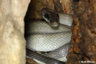 Ridley's cave racer (Othriophis taeniurus ridleyi) inside a large cave