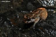 Tasan frog (Alcalus tasanae)