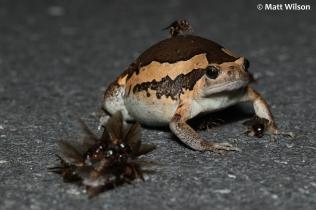 Asian painted frog (Kaloula pulchra)