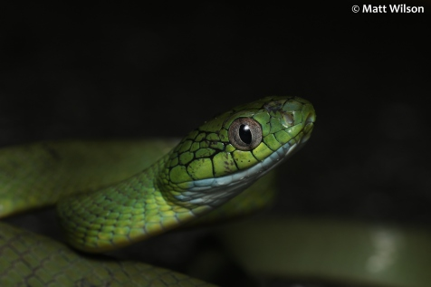 Green cat snake (Boiga cyanea)
